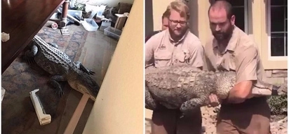 Man evacuated during hurricane returns home to find huge 2.7-meter alligator in his dining room
