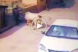 Violent cow's shocking attack on defenseless Asian man caught on video