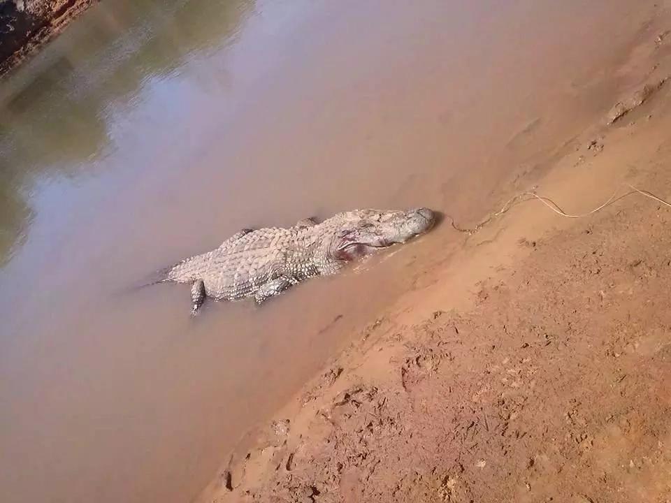 Locals captured and killed this alligator. Photo: FocusOn News
