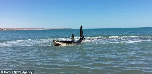 The great white shark appeared injured and was stuck in shallow waters