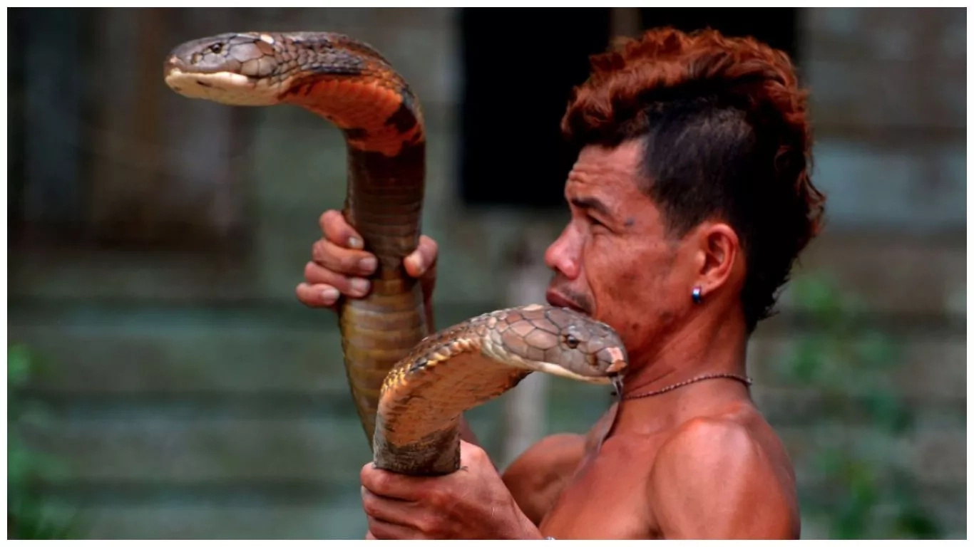 Brave! Snake charmer pets GIANT king cobras, defangs them with bare hands (photos)