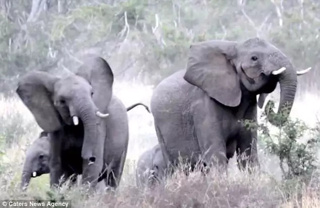 BEElarious! Elephants stomp around in distress with insects flying up their trunks (photos, video)