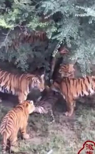 8 Siberian tigers mercilessly kill baby tigress a Chinese zoo