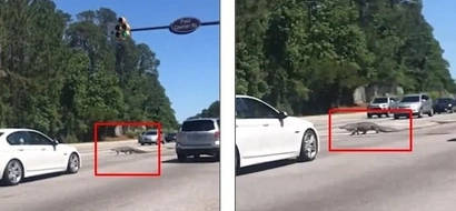 Crocodile stops busy traffic by wandering across road forcing motorists to wait (photos, video)