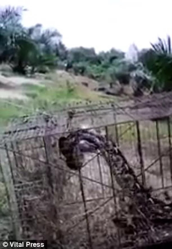 Farmer batters huge 4.5m python to death after it swallowed his goat