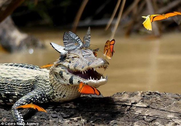 Conoce al cocodrilo más amigable del mundo