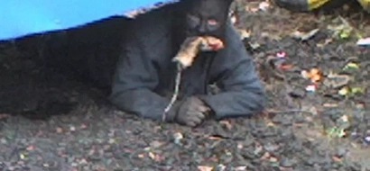 Meet legendary cat-man who crawls around town, eats RATS and scares people (photo, video)