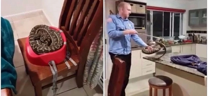 Family terrified to discover huge python sitting with them at dinner table