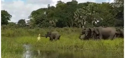 See terrifying moment crocodile jumps from water and GRABS elephant's trunk (photos, video)