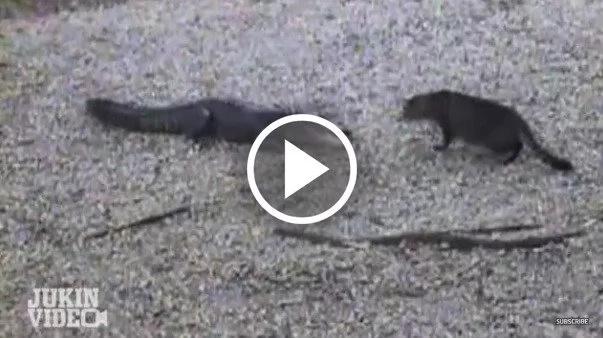 Valiente gato defiende a su familia humana del ataque de un cocodrilo