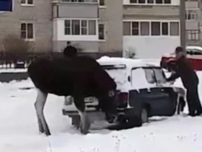 An ELK Takes To Huffing Exhaust Fumes In Russia - Say WHAT?