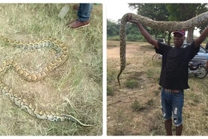 See huge python killed in Lagos - The hunter lifts it up, poses to take a picture