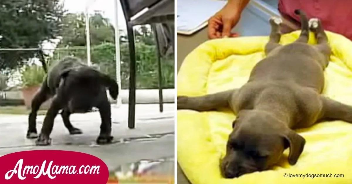 Este perro no podía caminar, así que los dueños lo tiraron a la basura. Mirala dar sus primeros pasos luego del rescate