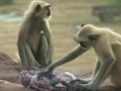 Mira esto: Vídeo de monos afligidos y de luto por muerte del mono
