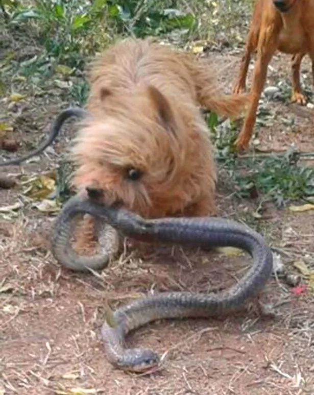 Hero dog! Pet defends owner of VENOMOUS snake, check out what happened (photos)