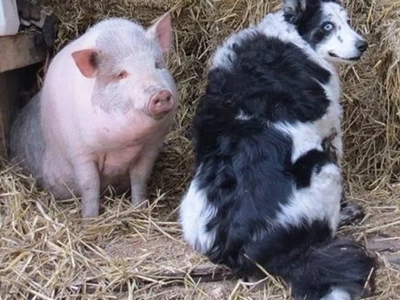 Pig Takes Over Role of Sheepdog After Doggie Best Friend Dies