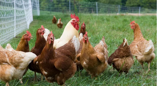 Take care of the health of your birds. Kienyeji chicken vaccination schedule