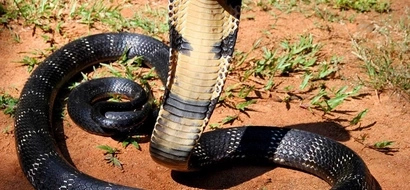 Drama as giant cobra disrupts political rally in Machakos