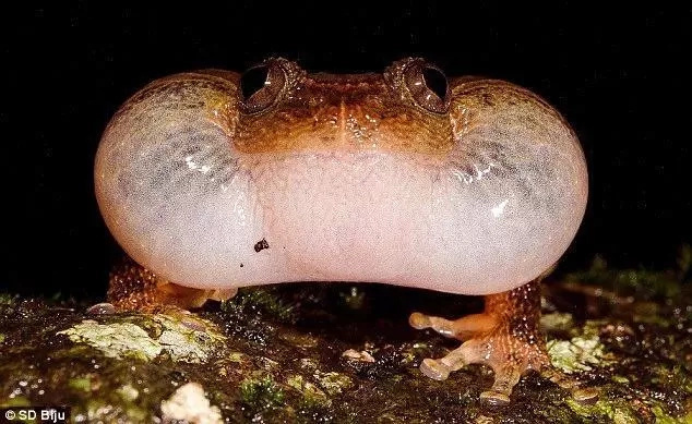 Scientists' discover the 7th sex position for frogs