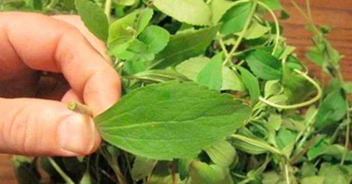 ¿Quieres dejar de fumar? La hierba que destruye tu deseo por la nicotina (y cómo cultivarla)