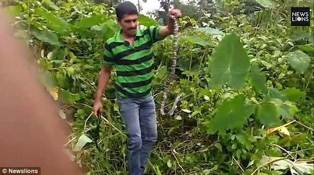 Sujith seen catching the snake. Photo: Newslions