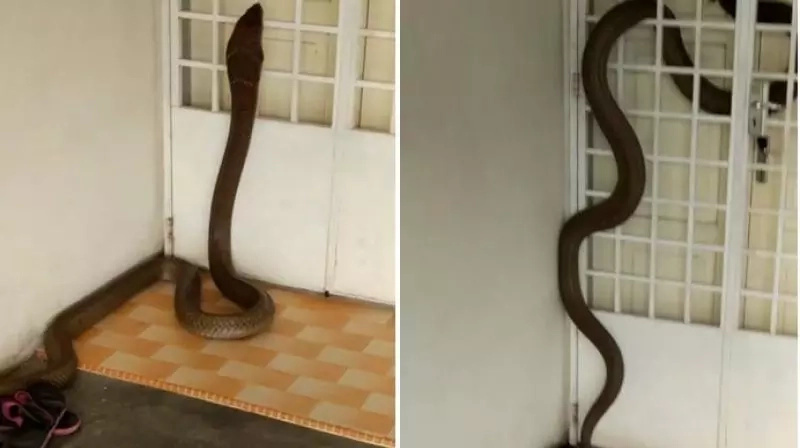 Tense moment King cobra slithers into someone's house, refuses to come out