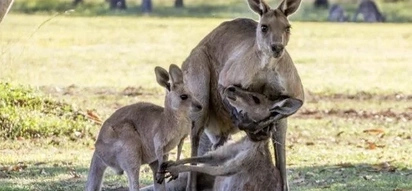 Touching photo: Kangaroo cradles his sick mate