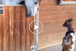 This horse and baby goat were caught talking to each other in this viral video!