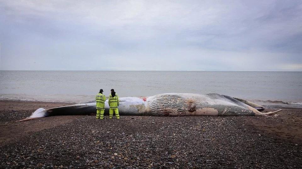 Ballena varada en la orilla del mar amenaza con explotar