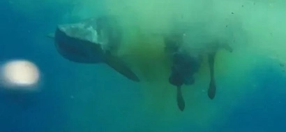 A Poor Cow Fell Into The Sea And Straight Into The Jaws Of A Monster Shark