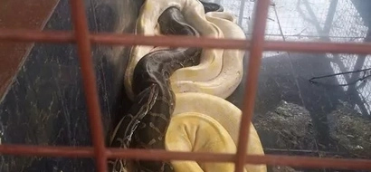 Pet SNAKES of 'narco-mayor' Espinosa confiscated by DENR