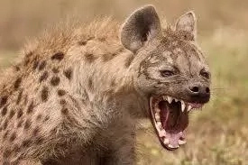 Shock as hyenas exume and eat 19 bodies