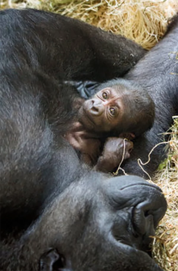 This Mother Gorilla had gone through a difficult labour. She gave birth successfully with the help of veterinarians and doctors who treat people