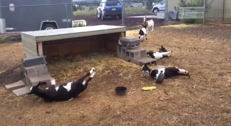 Cabras se desmayan al ver un paraguas