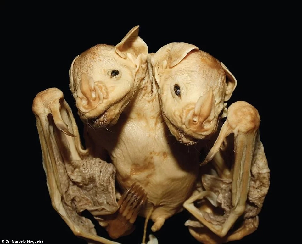 Bizarre moment as scientists discover rare conjoined bat twins