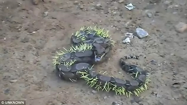 Haha! Silly snake swallows PORCUPINE, immediately regrets it (photos, video)