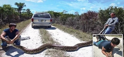 Snake hunters capture HUGE 4.5m python weighing a whooping 65kg (photos, video)