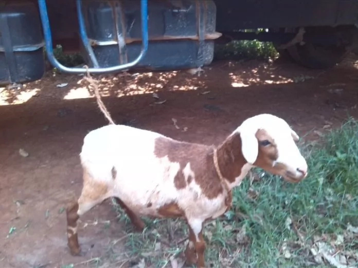 Kenya power employee caught with sheep after eyeing cow