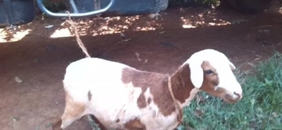 Kenya Power employee busted with a sheep in Kakamega