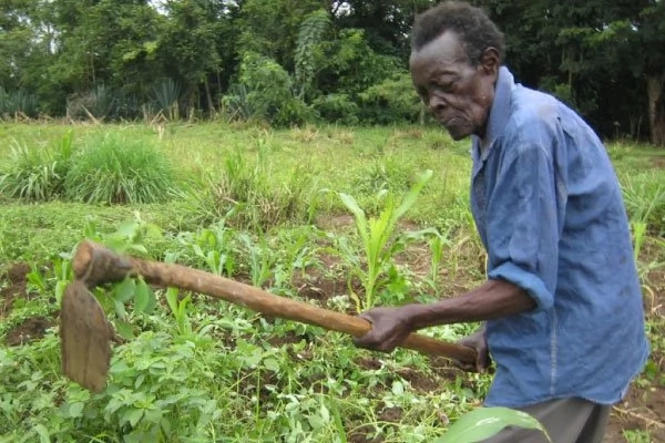 108-year-old Kyirongero working at his farm. Photo: Daily Monitor