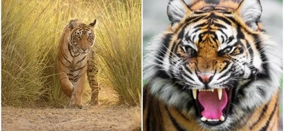 Sad! Families reportedly send their elderly relatives to tiger reserves to be mauled for compensation