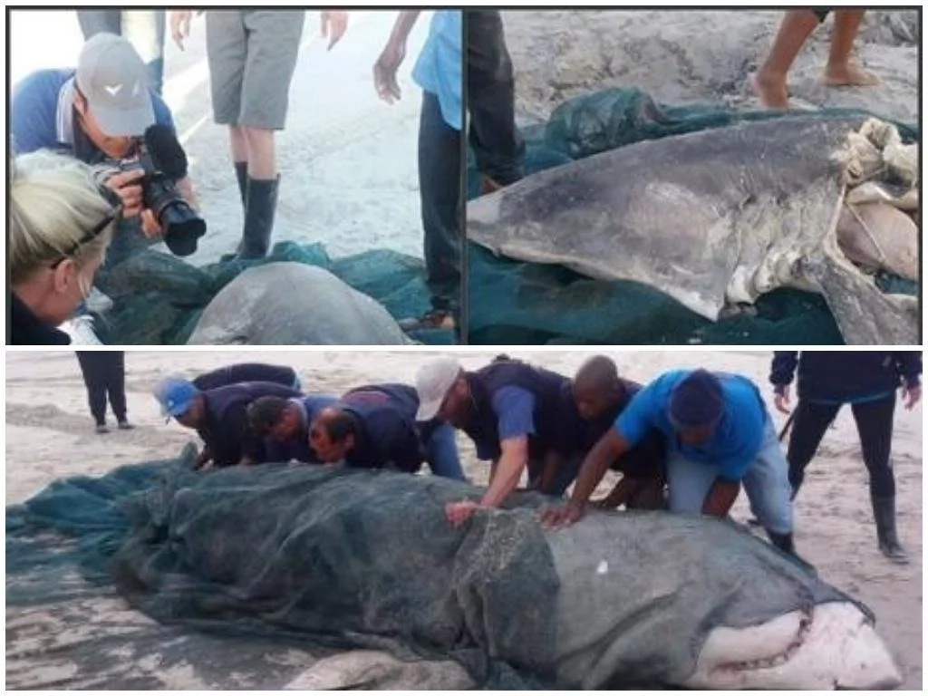 Killer whale blamed for death of 2 giant white sharks washed ashore with liver missing (photos)