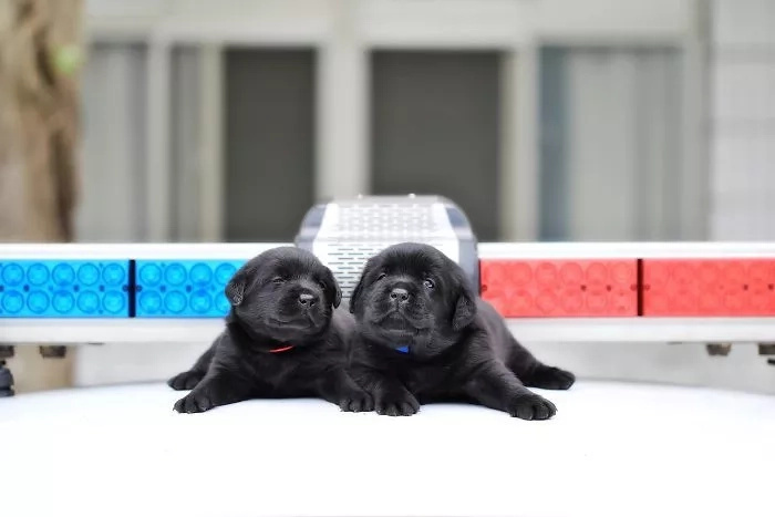 These police pups are too cute to handle!