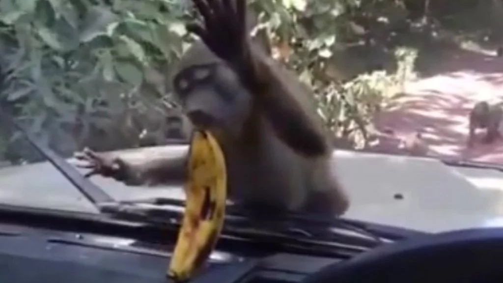 This monkey is trying to eat a banana through a windscreen and it's too funny for words (video)