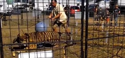 Monstrous Tiger Turns On Trainer Before The Eyes Of Schoolchildren (Video)