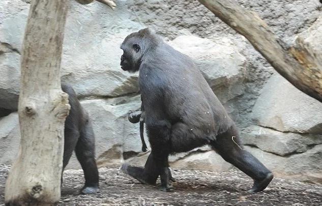 Conmovedor: Una mamá gorila no puede creer que su bebé murió y aún intenta despertarlo