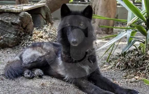 El único lobo de Colombia podría ser liberado