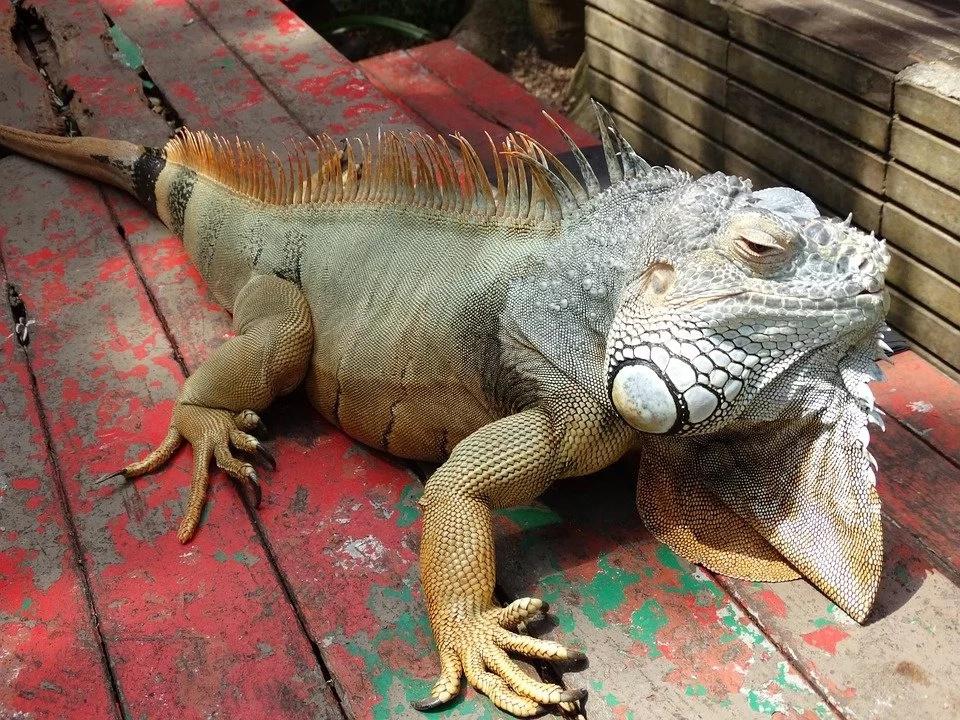 Iguana Bites Owner's Finger And Follows Him For Few Days, Later Doctor Reveals Horrifying Truth...