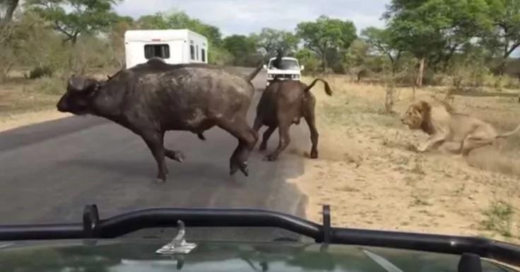 Increíble video de leones atrapando a un búfalo en el camino de un safari