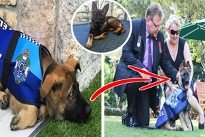 One-year old German Shepherd sacked from his job. Months later, he not only got a new job but became a social media star too!